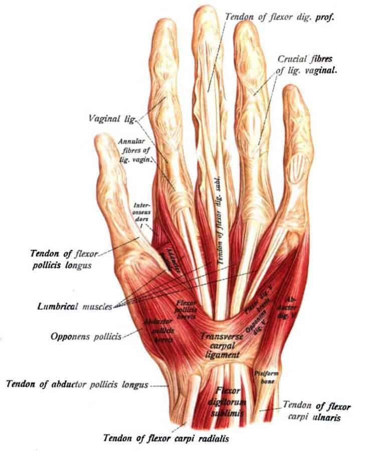 Eine Hand mit ihren Sehnen und Muskeln